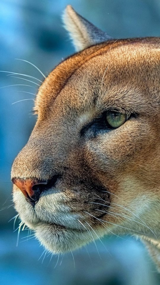Lindo Animal Cougar Mn 540x960 Wallpaper
