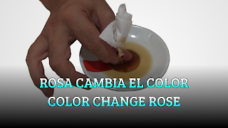 Rosa cambia el color, CAPILLARY EFFECT, Color change Rose