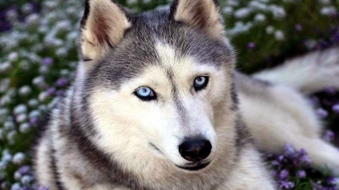 Husky Frases: Latest Hd Wallpaper: Siberian Husky Blue Eyes