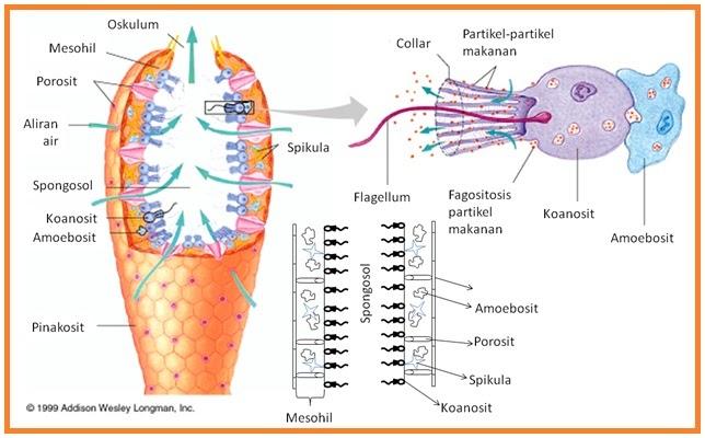 Biologi Gonzaga Animalia Porifera Coelenterata