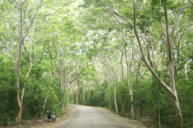 Salagdoong man-made mahogany forest in Maria Siquijor Philippines