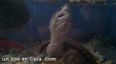 Kinosternon hirtipes comiendo pienso