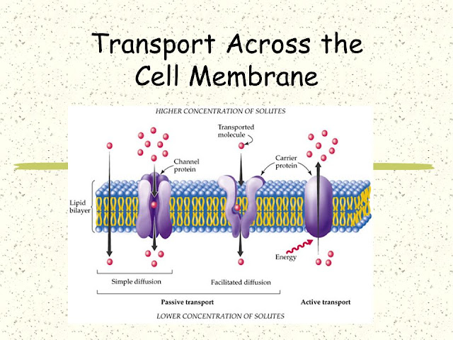diffusion across cell membrane Diffusion is the passive movement of molecules from an area of high concentration of the molecules to an area with a lower concentration inside cells, diffusion is the transport of small molecules across the cell membrane.