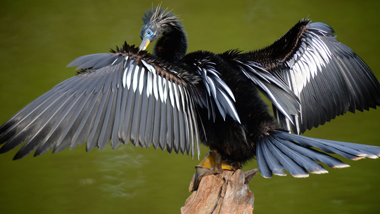 An Anhinga perched on a branch in the spread-wing posture sunning himself.