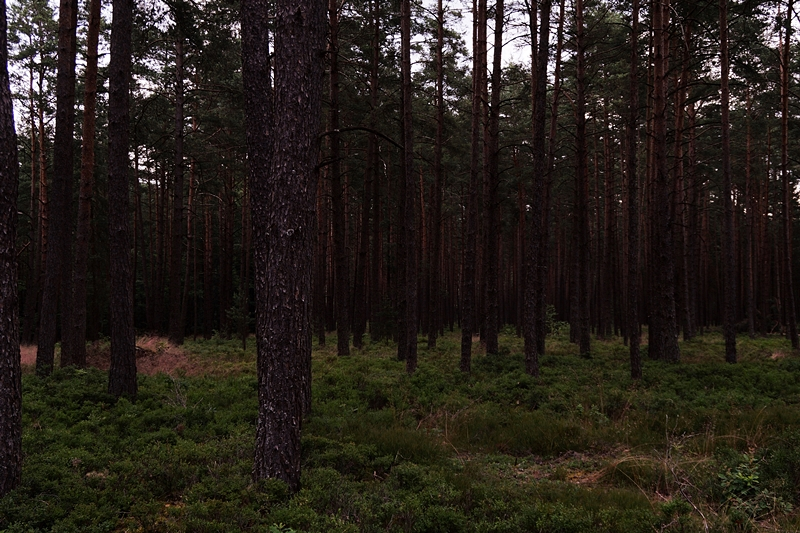 forest in summer photography dark and moody blueberries and trees // Wald im Sommer und Heidelbeeren Fotografie düster