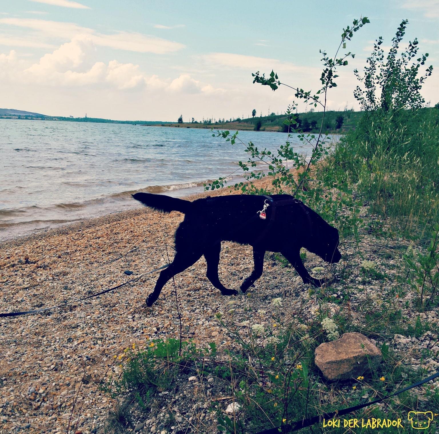 Schwarzer Labrador am See