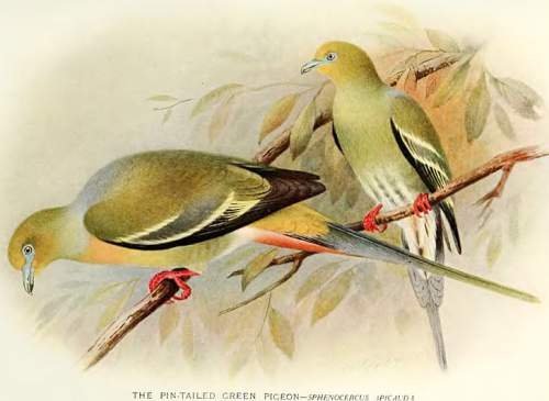 Indian birds - Image of Pin-tailed green pigeon - Treron apicauda