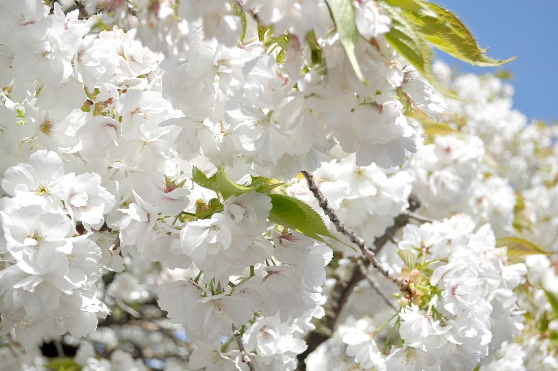 Clifton blossom