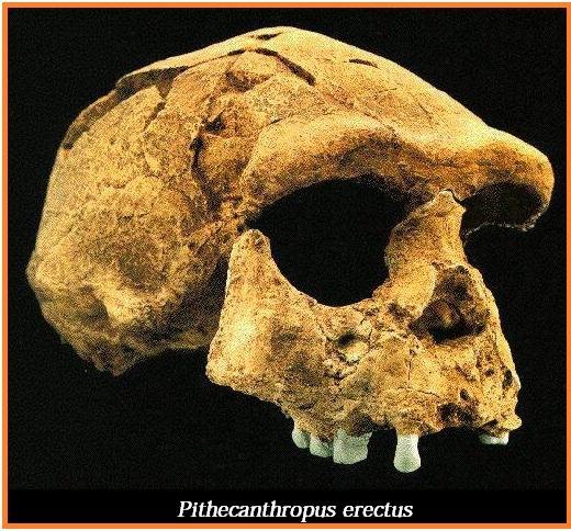 Pithecanthropus Erectus Ciri Ciri Dan Sejarahnya Lensa Budaya