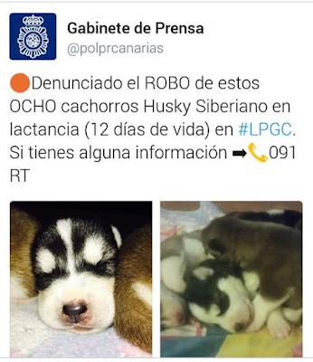 Roban cachorros Husky Siberiano, Las Palmas de Gran Canaria