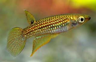 Aplocheilus parvus - Drarf panchax - Udda/උඩඩා
