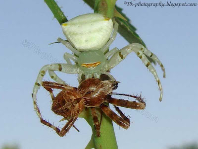 Crab Spider Picture
