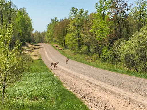 Deer on the road at the Averill-Kelly Creek Wilderness trailhead