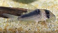 Jenis Ikan Corydoras serratus