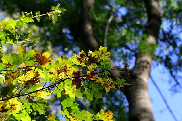 Frunze de jugastru