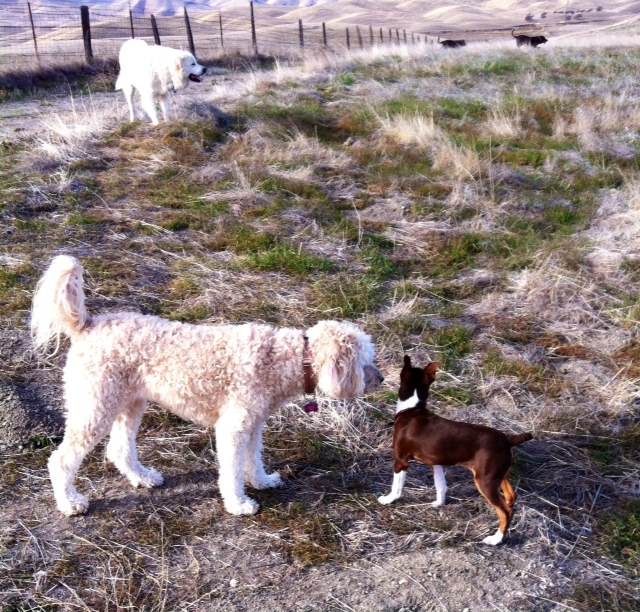 ground squirrel control, Burrow Blocker, Great Pyrenees, Rat Terrier, Labs, Labradoodle