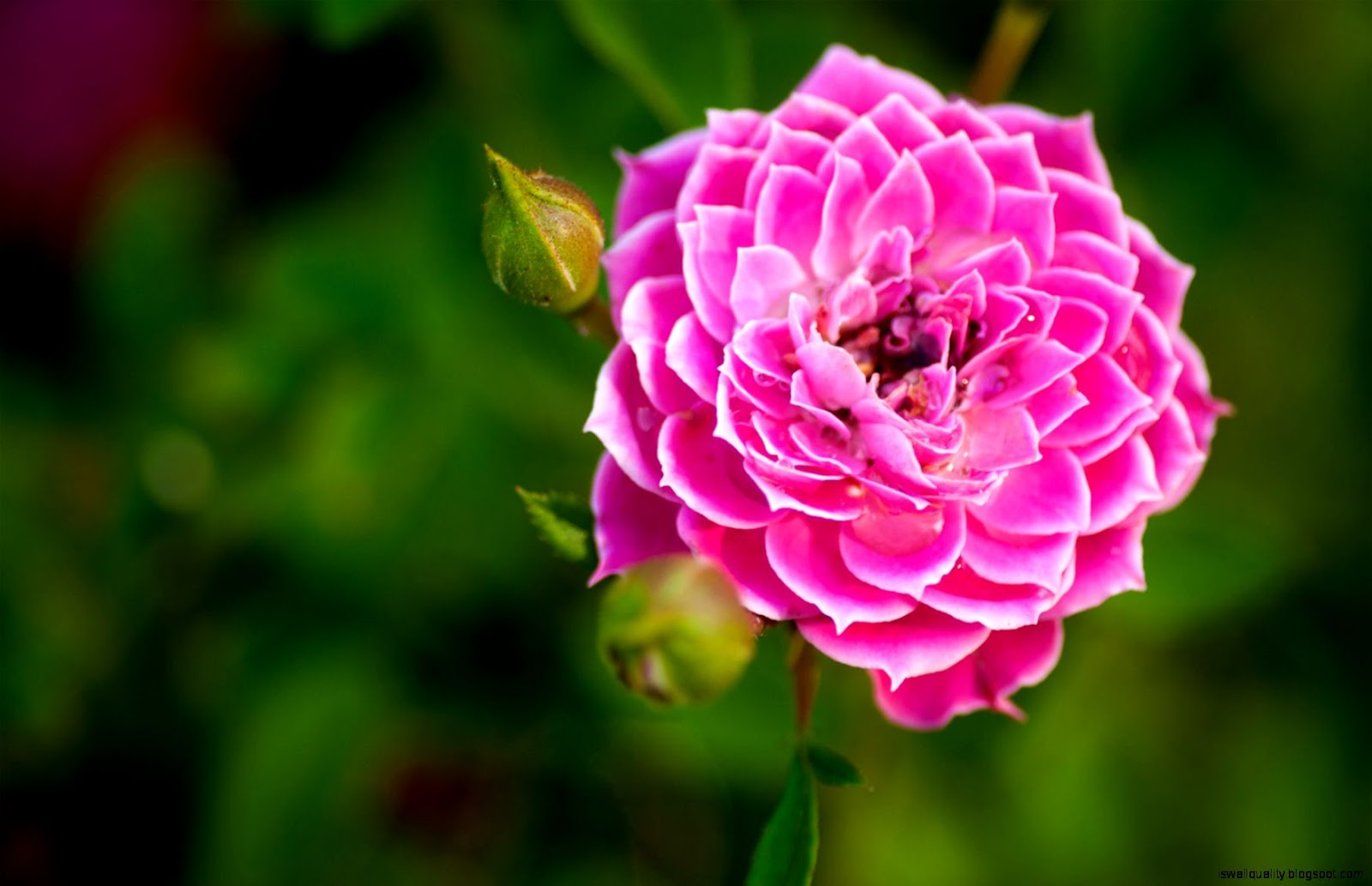 Wallpaper Hd Nature Flower Rose Pink Wallpapers Quality