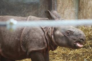 Indian Rhino Smile.