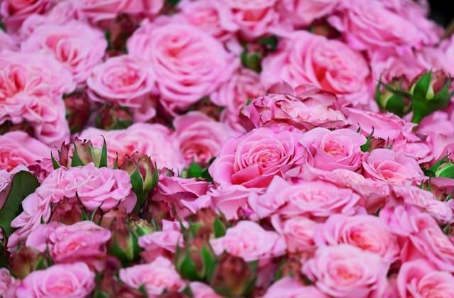 taman bunga mawar pink yang elok