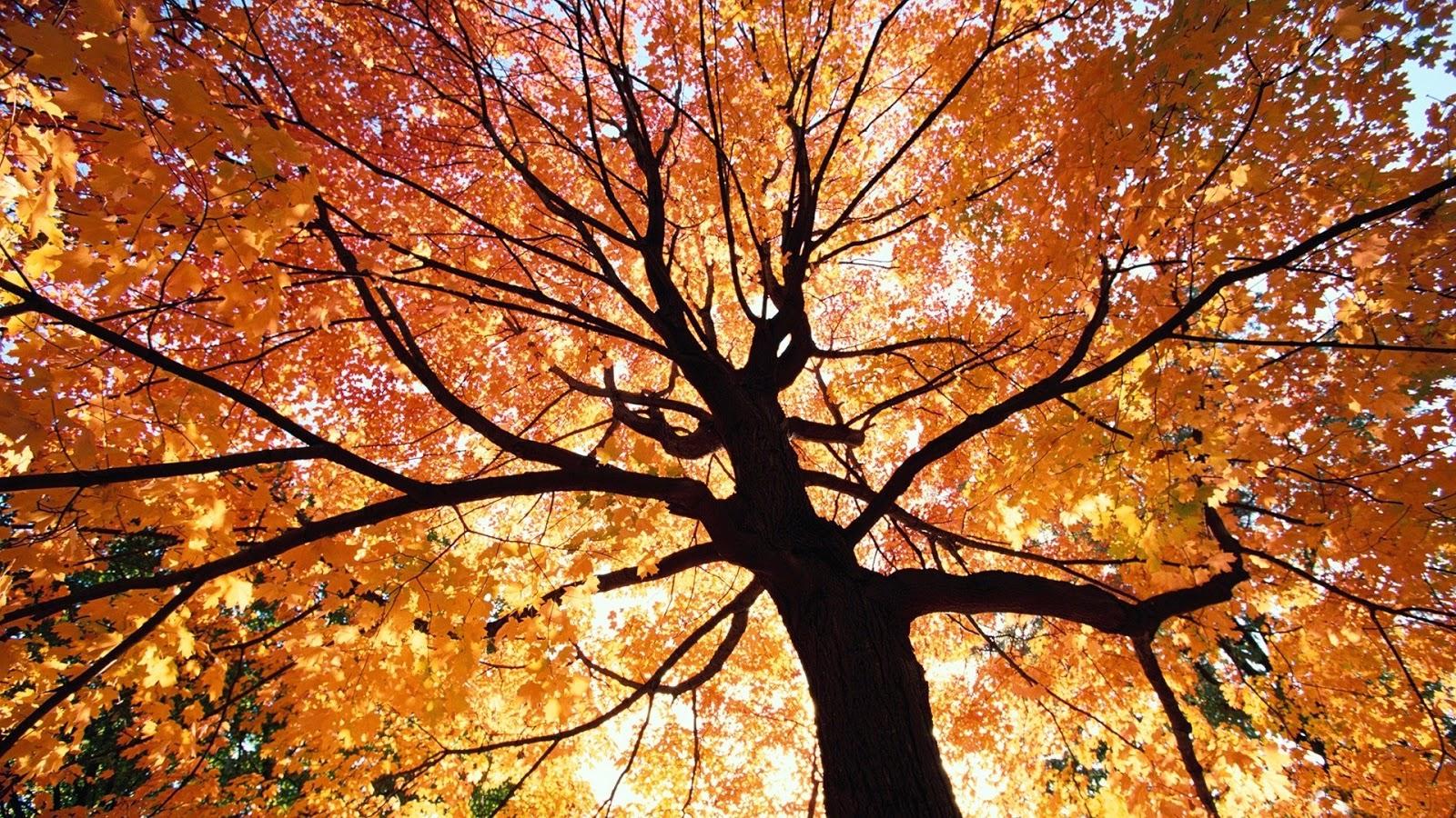 autumn fall tree backgrounds - photo #4