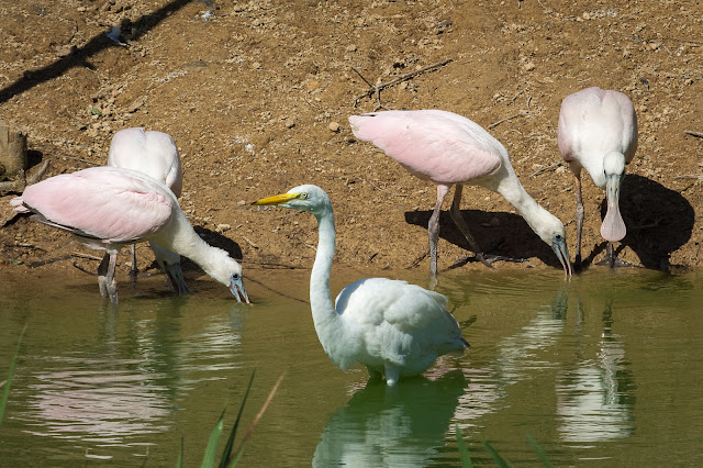 Roseate Spoonbills and Great Egret, Smith Oaks Audubon Sanctuary