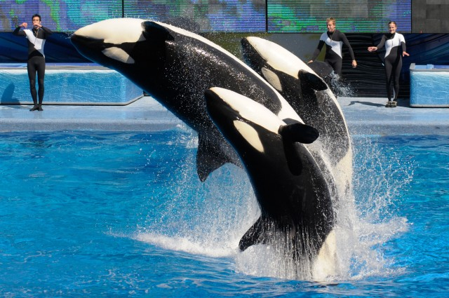 SeaWorld Announces End And Every Thing Captive Orca Breeding Programs