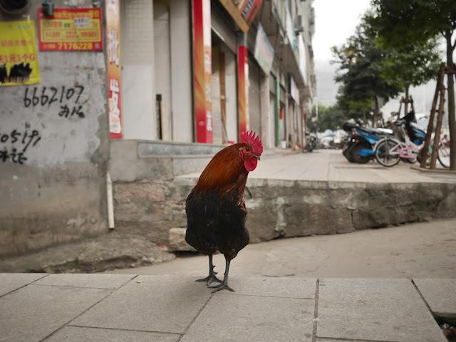 rooster standing on sidewalk in Xiapu, China