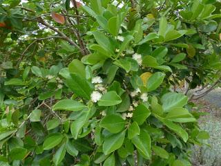 Goyavier de Chine - Goyavier de Cattley - Psidium cattleianum
