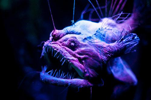 fanfin deniz şeytanı