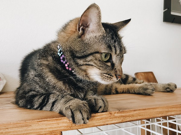 あじさいカラーの首輪をつけたキジトラ猫