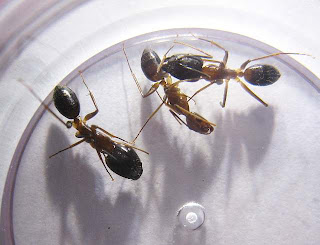 Camponotus species with minor and major workers