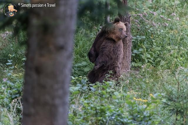 orsi slovenia mamma orso si gratta la schiena segnando il territorio