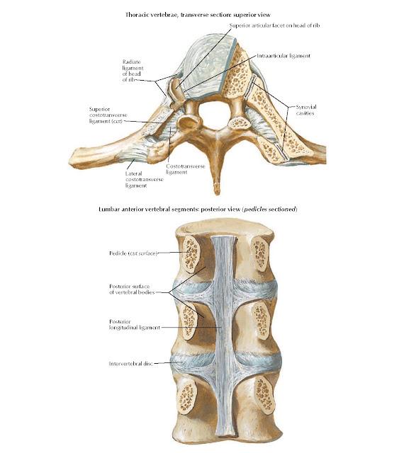 Vertebral Ligaments Anatomy