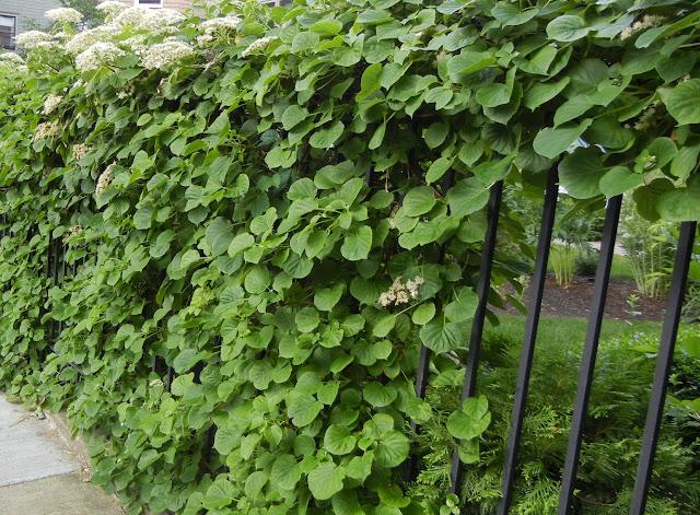 Hort 234 Ncia Trepadeira Hydrangea Sementes Flor Para Mudas