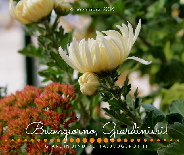 crisantemo (chrysanthemum morifolium) - l'agenda del giardino e del giardiniere - un giardino in diretta