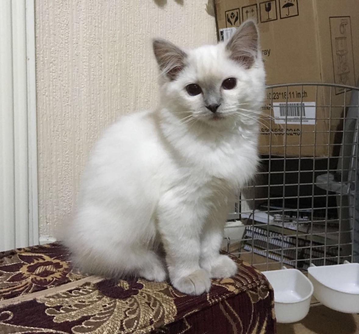 Her Storiie x3 Dayana AZ Ragdoll Breeder in Malaysia