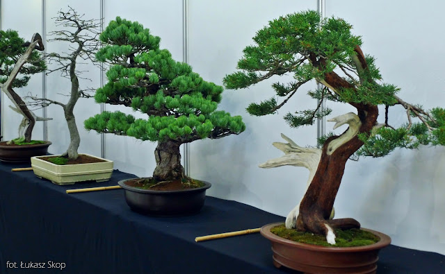 wystawa bonsai zdjęcia