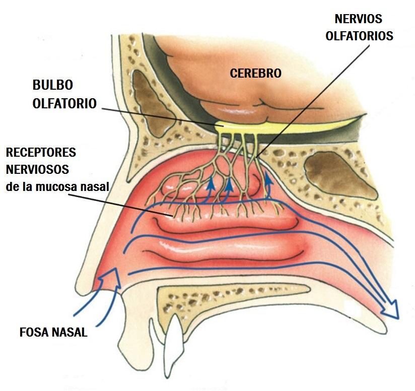 PRIMER PAR CRANEAL (NERVIO OLFATORIO)