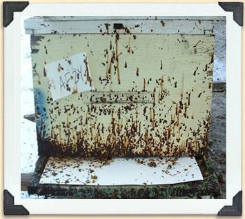 Ερώτηση μελισσοκόμου προς το ΑΠΘ: Κάθε πότε πρέπει να εφαρμόζεται θεραπεία με θυμόλη για την Νοζεμίαση;