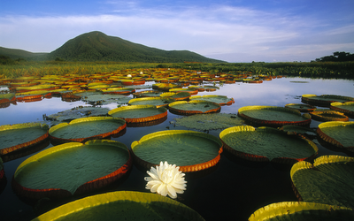 The giant Amazon water lily with white flower