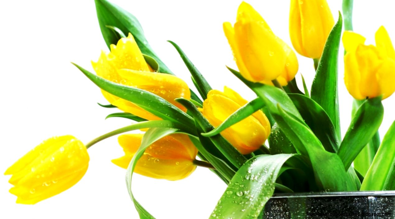 Photo Flowers Yellow Tulips Hd Wallpaper Free High Definition