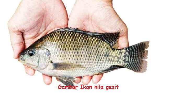 Jenis Ikan Nila - Ikan nila gesit