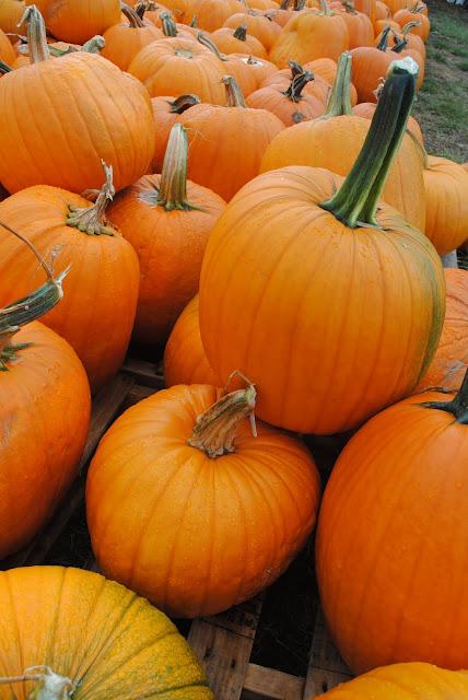 pumpkin-patch-sauvie-island-oregon