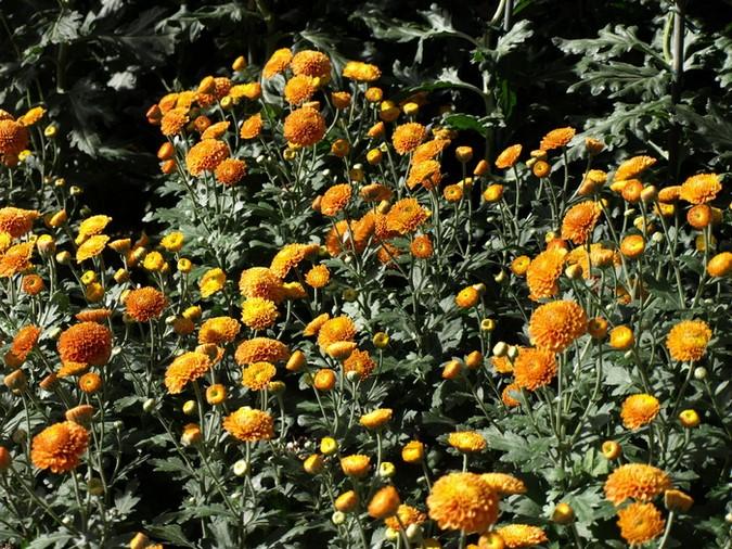 Chrysanthemum x morifolium 'Kelvin Mandarin'