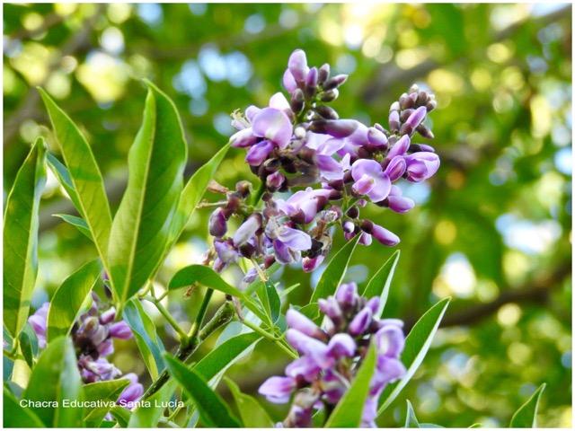 Lapachillo en flor - Chacra Educativa Santa Lucía