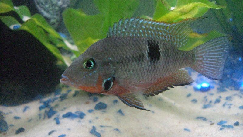 Klasifikasi sitematika ikan mulut api