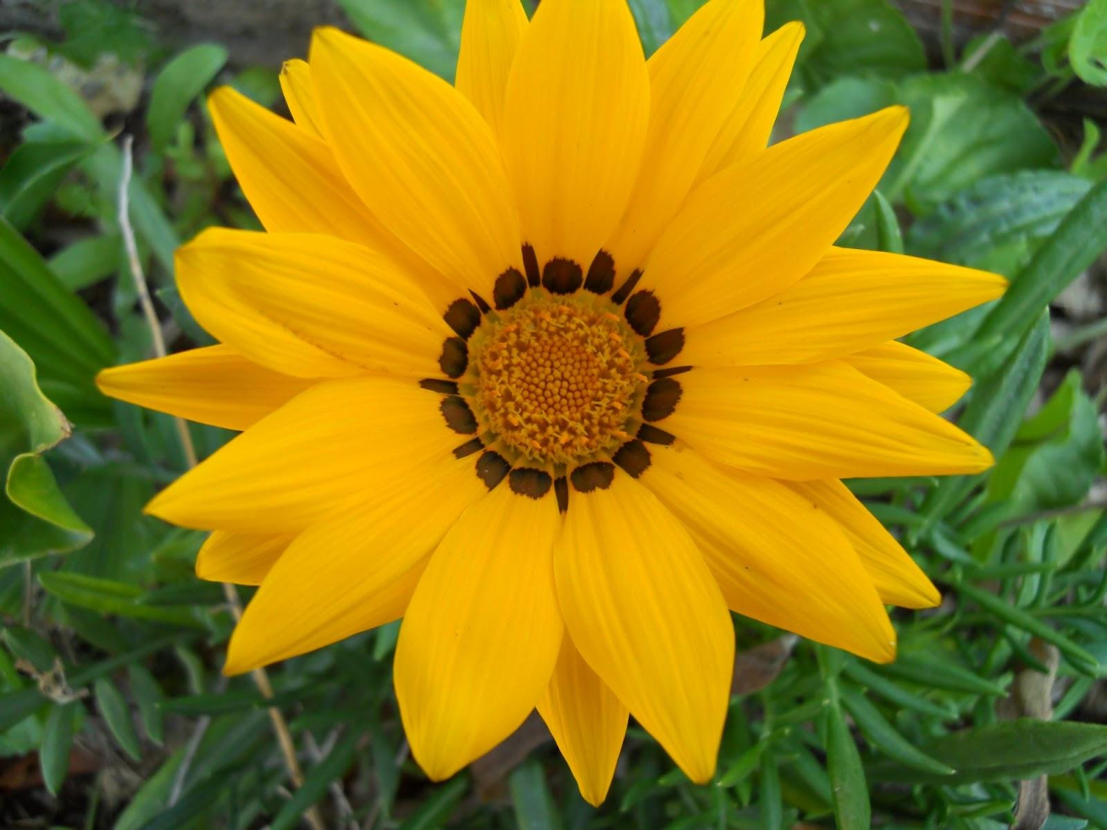 Imagenes De Flores Margaritas De Colores