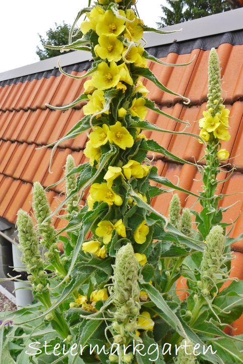 Königskerze-Blüten-Steiermarkgarten