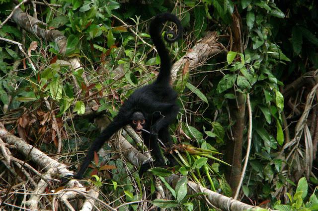 Macaco-aranha-de-cara-branca - Ateles marginatus - Amazonia