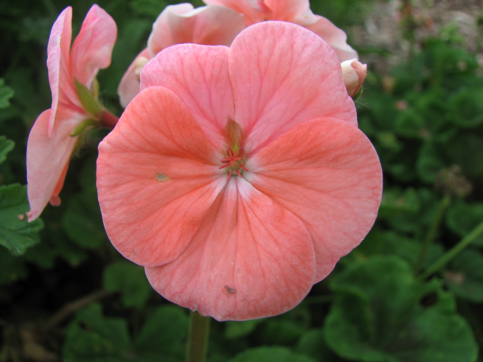 Single Flower Geranium